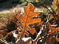Hoja de otoño de roble en la ribera del Lozoya.JPG