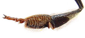 Honey bee hind leg from inside 1.jpg