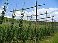 Hop Growing, Puttenham - geograph.org.uk - 453315.jpg