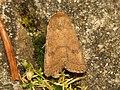 Hoplodrina octogenaria (14533303981).jpg