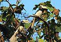 Hornbill at Dandeli.jpg