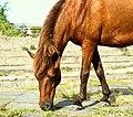 Horse in Surabaya.jpg
