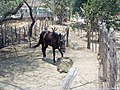 Horse on farm in Aguacaliente - panoramio.jpg