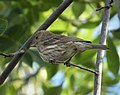 House Finch Carpodacus mexicanus female (24646110538).jpg