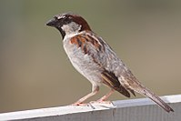 House Sparrow mar08.jpg