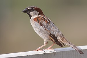 Sparrow - A male house sparrow