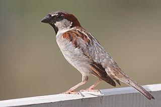 Sparrow family of songbirds