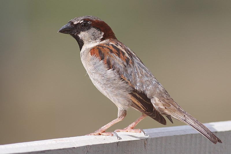 File:House Sparrow mar08.jpg