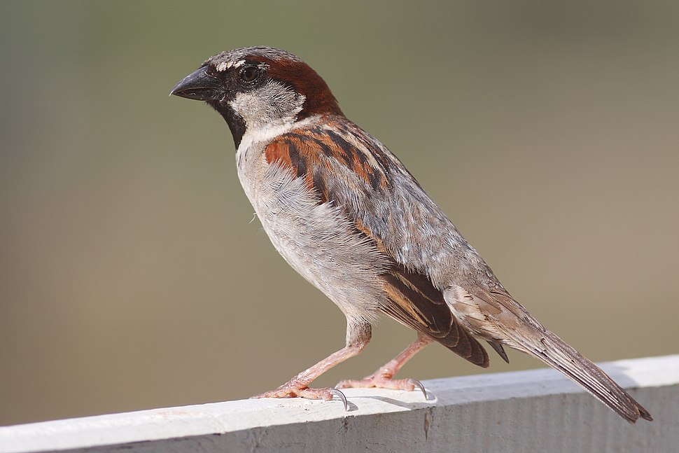 House Sparrow mar08