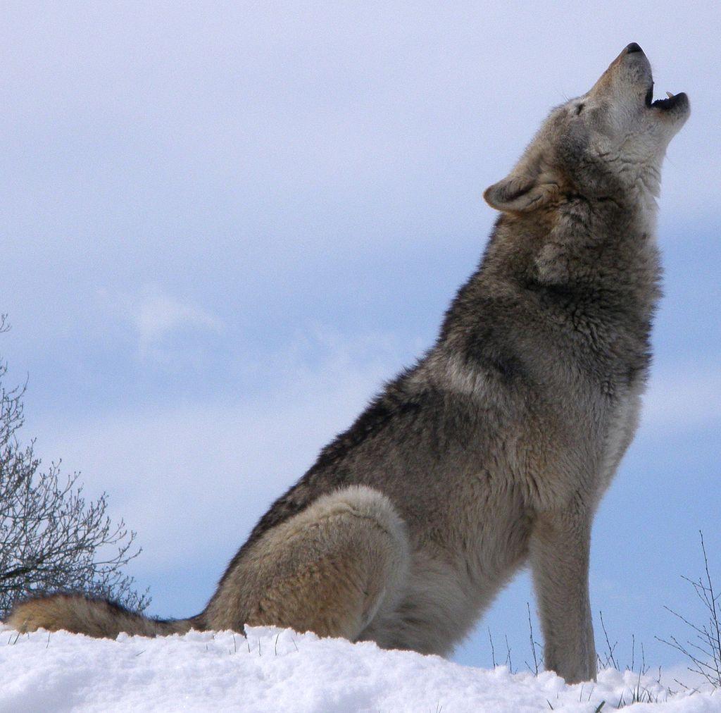 de wolf, de voorouder van de hond