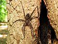 Huge Fishing Spider - Flickr - treegrow.jpg