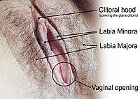 Las distintas partes de la vulva