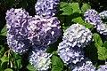 Hydrangea Plas Bodegroes Efailnewydd - geograph.org.uk - 489621.jpg