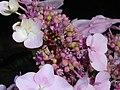 Hydrangea macrophylla 2018-07-09 4748.jpg