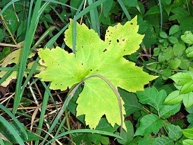 Hydrophyllum canadense SCA-04078.jpg