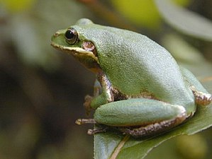 Squirrel tree frog - Image: Hyla squirella 1