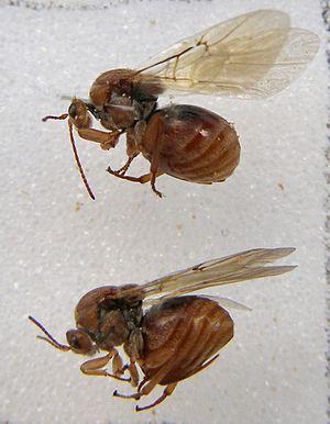 Andricus kollari - Female Andricus kollari of the asexual generation