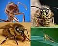 Hymenoptera.jpg