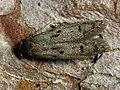 Hypatopa binotella - Spotted dowd moth (40781376721).jpg
