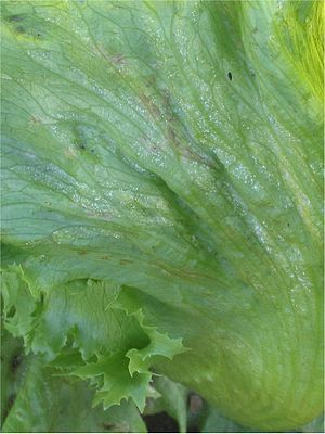 Bremia - Iceberg lettuce infected with Bremia lactucae