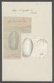 Idya elongatus - - Print - Iconographia Zoologica - Special Collections University of Amsterdam - UBAINV0274 110 05 0005.tif