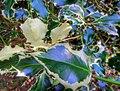 Ilex aquifolium 'Argentea Marginata' (Aquifoliaceae) leaf.jpg