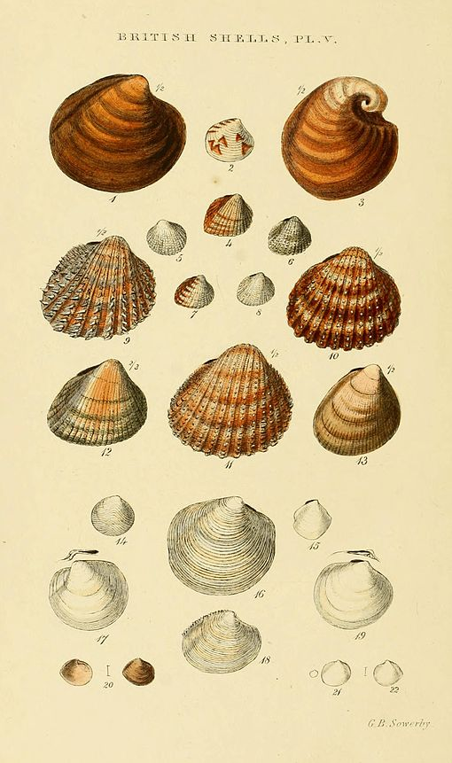 Illustrated Index of British Shells Plate 05.jpg