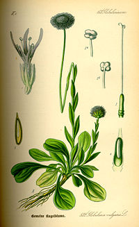 Illustration Globularia punctata0