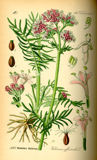 Illustration Valeriana officinalis0.jpg