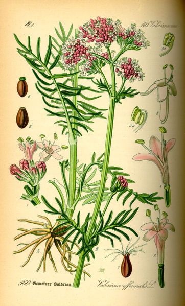 Datoteka:Illustration Valeriana officinalis0.jpg