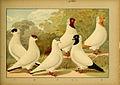 Illustriertes Prachtwerk sämtlicher Taubenrassen (Tafel 91) (6004683605).jpg