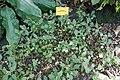 Impatiens purpureo-violacea-Jardin botanique Meise (4).jpg
