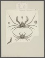Inachus dorynchus - - Print - Iconographia Zoologica - Special Collections University of Amsterdam - UBAINV0274 095 19 0003.tif