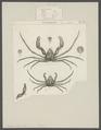 Inachus dorynchus - - Print - Iconographia Zoologica - Special Collections University of Amsterdam - UBAINV0274 095 19 0003.tif
