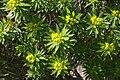 Inca - Puig de Santa Magdalena - Euphorbia dendroides 07 ies.jpg