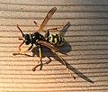 Insecte photographié à Beynost en juillet 2017.jpg