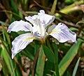 Iris munzii 1.jpg