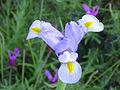Iris xiphium Flor 2011-5-14 SierraMadrona.jpg