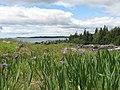 Irises at Quoddy Head State Park - panoramio.jpg