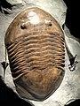 Isotelus maximus, Late Ordovician, Richmond Group, Waynesville County, Ohio, USA - Houston Museum of Natural Science - DSC02016.JPG