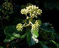 Ivy flowers, Belfast - geograph.org.uk - 1526830.jpg