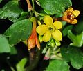 J20170314-0043—Ribes aureum—RPBG (32637607224).jpg