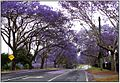 Jacaranda trees in bloom, Ipswich.jpg