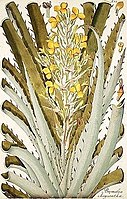 Jacquin Bromelia chrysantha 1797 randlos.jpg