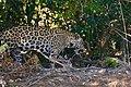 Jaguar (Panthera onca) female on the riverbank ... (48709837663).jpg