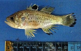 <i>Jaydia queketti</i> species of Actinopterygii