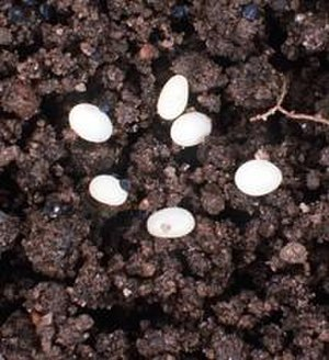 Japanese beetle - A typical cluster of Japanese beetle eggs