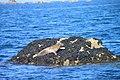 Jeune phoque femelle aux étocs (Penmarch, Finistère) (9599757351).jpg