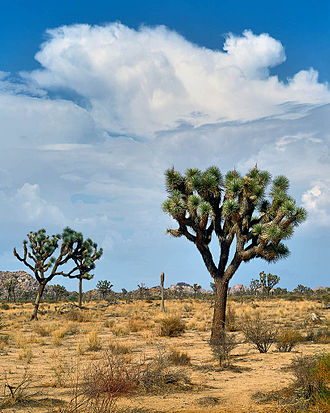 Joshua Tree National Park - The park is named after the Joshua tree.