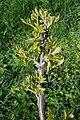 Juglans nigra (Black Walnut) (34414584036).jpg